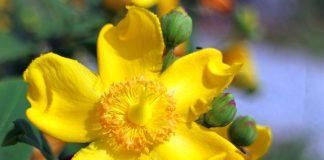 Bitkisel Sarı Kantaron.